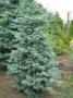 Abies concolor 'Violacea'