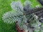 Abies lasiocarpa 'Argentea'