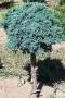 Juniperus squamata 'Tropical Blue' na kmínku