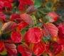 Fothergilla major 'Red Licorice'