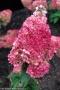 Hydrangea paniculata 'Magical Vesuvio'