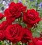 Růže Nina Weibull