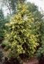 Picea abies 'Aurea Magnifica'