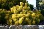 Pinus mugo 'Winter Gold nebo Wintersonne'