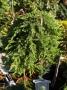 Juniperus communis 'Green Mantle'