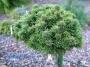 Pinus sylvestris 'Compressa'