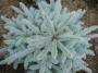Picea pungens 'Super Blue Seedling'