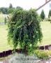 Caragana arborescens 'Pendula nebo Caragán'