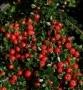 Cotoneaster buxifolius 'Nana'