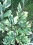 Fagus sylvatica 'Albovariegata'