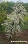 Cercis canadensis 'Vanilla Twist'