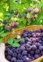 Rubus idaeus 'Glen Coe'