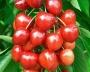 Prunus avium 'Summit'