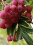 Sorbus aucuparia x Crataegus sanguinea Granatina