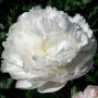 Paeonia 'Baroness Schroeder'