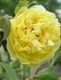 Paeonia 'Primavera'