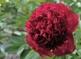 Paeonia 'Red Charm'