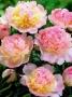 Paeonia 'Raspberry Sundae'