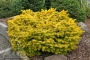Abies cephalonica 'Barbits gold'
