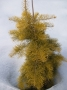 Abies concolor 'Winter Gold'