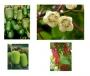 Kolekce pnoucí ovoce 5 kusů