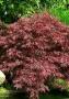 Acer palmatum 'Dissectum Ornatum'
