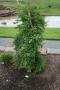 Acer palmatum 'Ryusen'