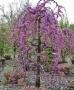 Cercis canadensis 'Lavender Twist'