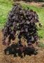 Cercis canadensis 'Ruby Falls'