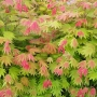 Acer shirasawanum 'Moonrise'