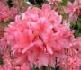 Azalea 'knap hill rosy lights'