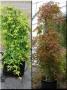 Acer palmatum 'Ryusen' na kmínku