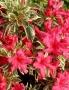Azalea japonica 'Hot Shot Variegata'