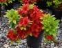 Azalea japonica 'Red Fontain'