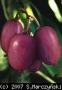 Actinidia arguta 'Purpurna Sadowa'