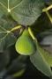 Ficus Carica 'Beskydy'