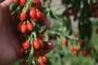 Lycium barbarum 'lifeberry'