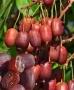 Actinidia arguta 'Scarlet September' Kiwi Miraz