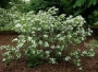 aronia melanocarpa 'Brilliant'