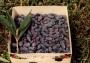 Lonicera caerulea Kamtschatica 'Honeybee'