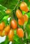 Lycium barbarum 'Amber Sweet'