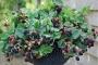 Rubus 'Black Cascade'