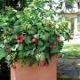 Rubus idaeus 'Yummy'