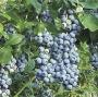 Vaccinium corymbosum 'Blue Suede'