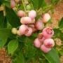 Vaccinium corymbosum 'Pink Popcorn'