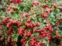 Vaccinium vitis-idaea 'Red Pearl'