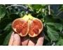 Ficus carica 'Bornholms Diamant'