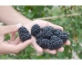 Rubus fruticosus 'Tichavská beztrnná'