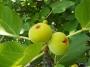 Ficus carica 'Dotato'