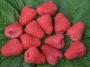 Rubus idaeus 'Delniwa'